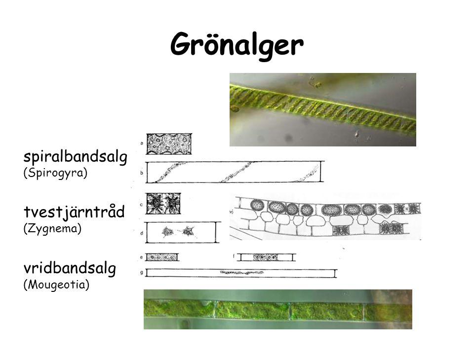 Grönalger spiralbandsalg tvestjärntråd vridbandsalg (Spirogyra)