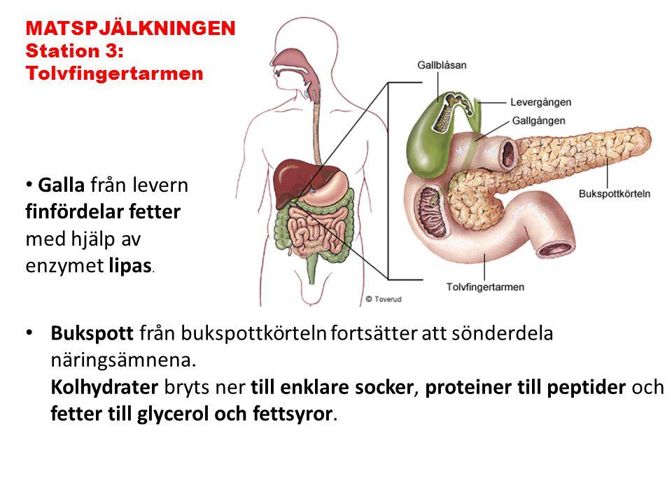 Galla från levern finfördelar fetter med hjälp av enzymet lipas.