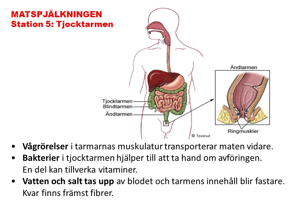 Vågrörelser i tarmarnas muskulatur transporterar maten vidare.