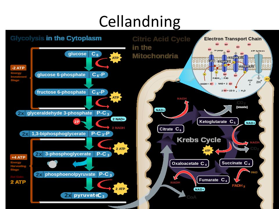 Cellandning