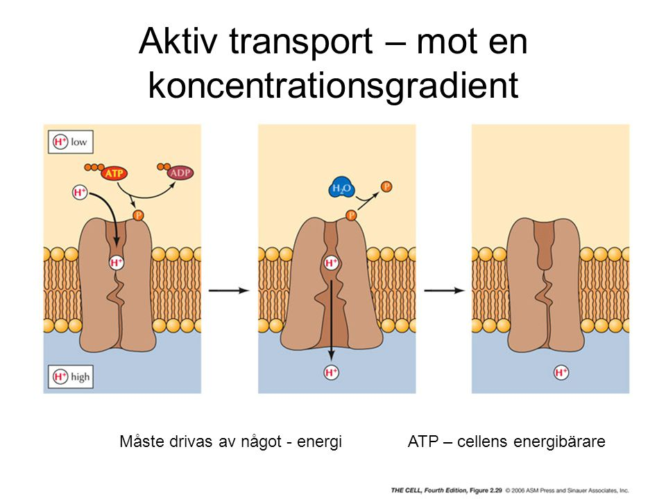 Aktiv transport – mot en koncentrationsgradient