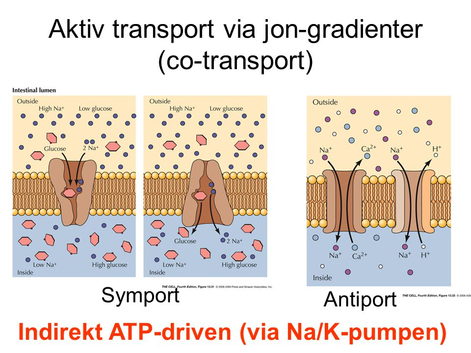 Aktiv transport via jon-gradienter (co-transport)
