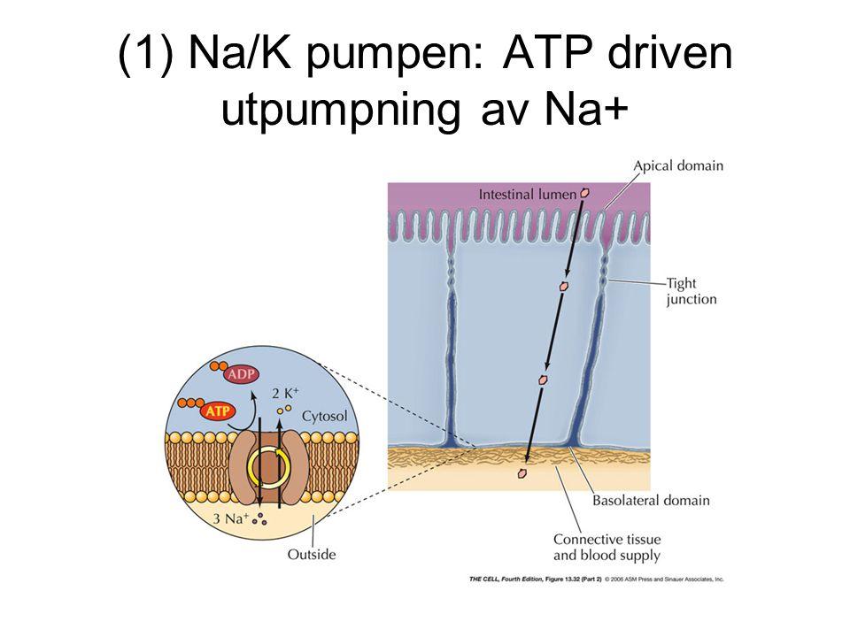 (1) Na/K pumpen: ATP driven utpumpning av Na+