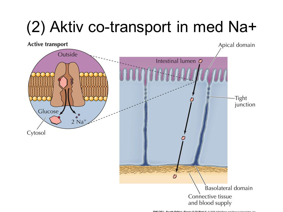 (2) Aktiv co-transport in med Na+