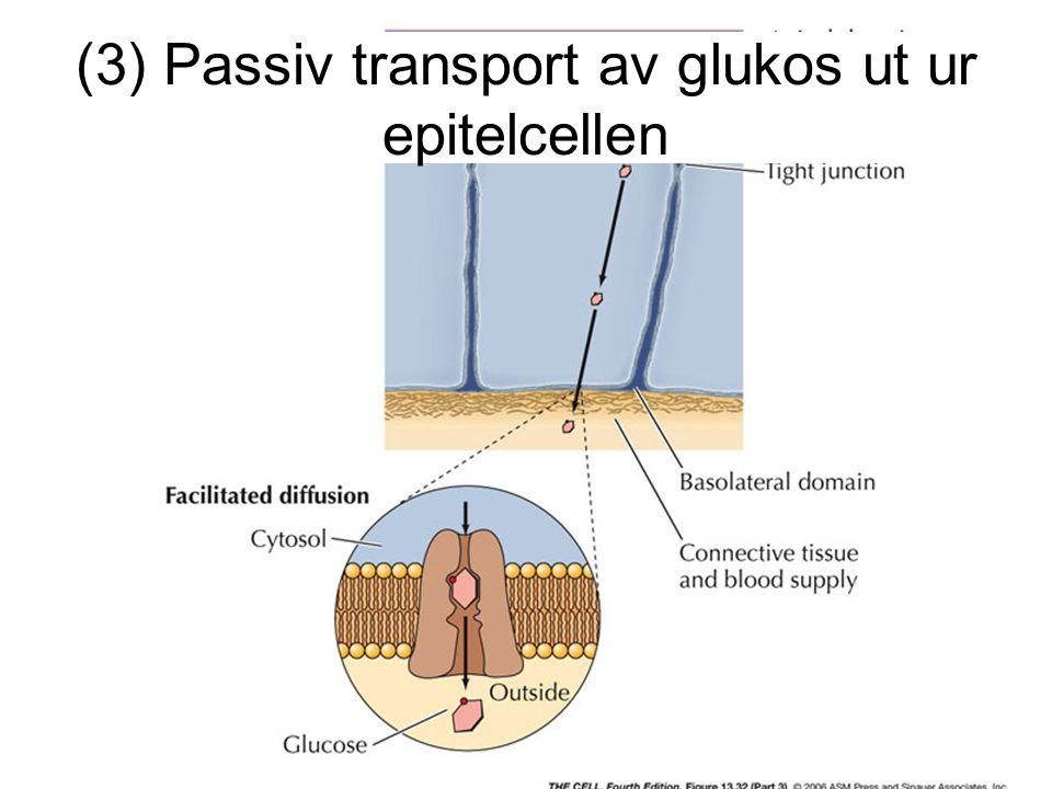 (3) Passiv transport av glukos ut ur epitelcellen
