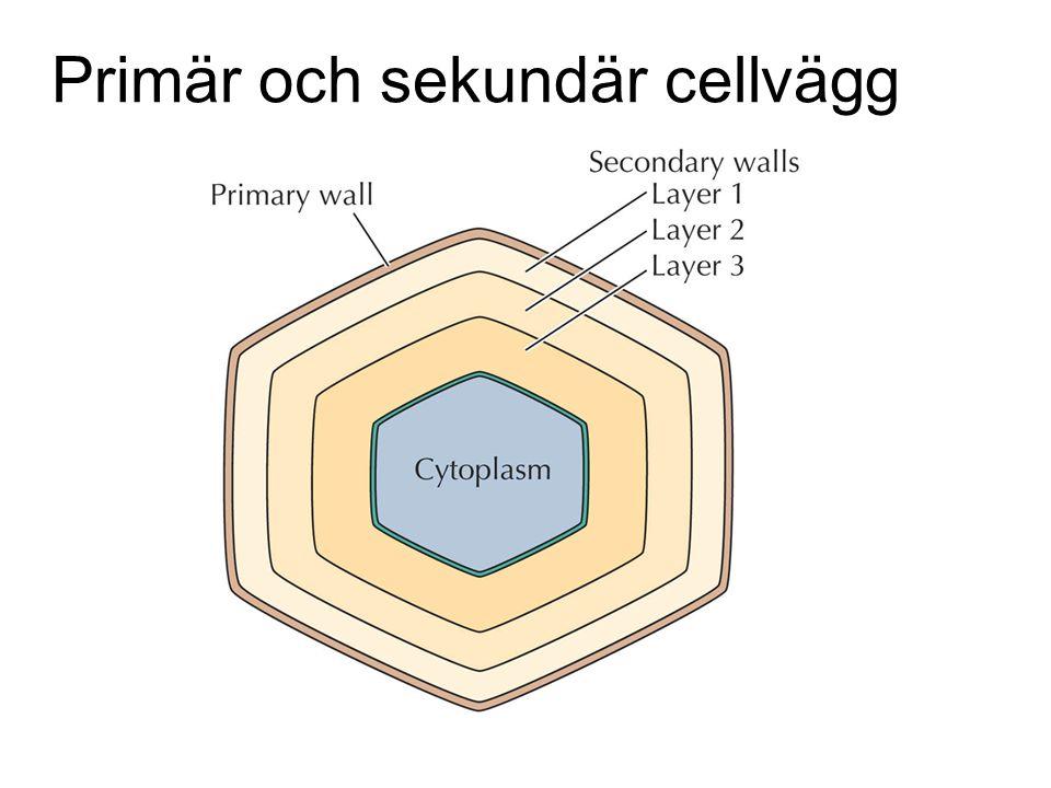 Primär och sekundär cellvägg