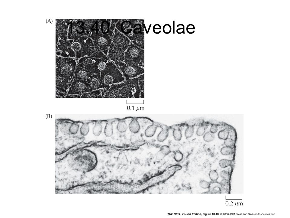 13.40 Caveolae cell4e-fig-13-40-0.jpg