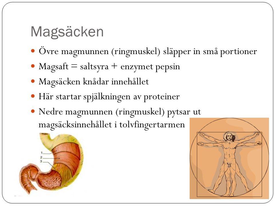Magsäcken Övre magmunnen (ringmuskel) släpper in små portioner