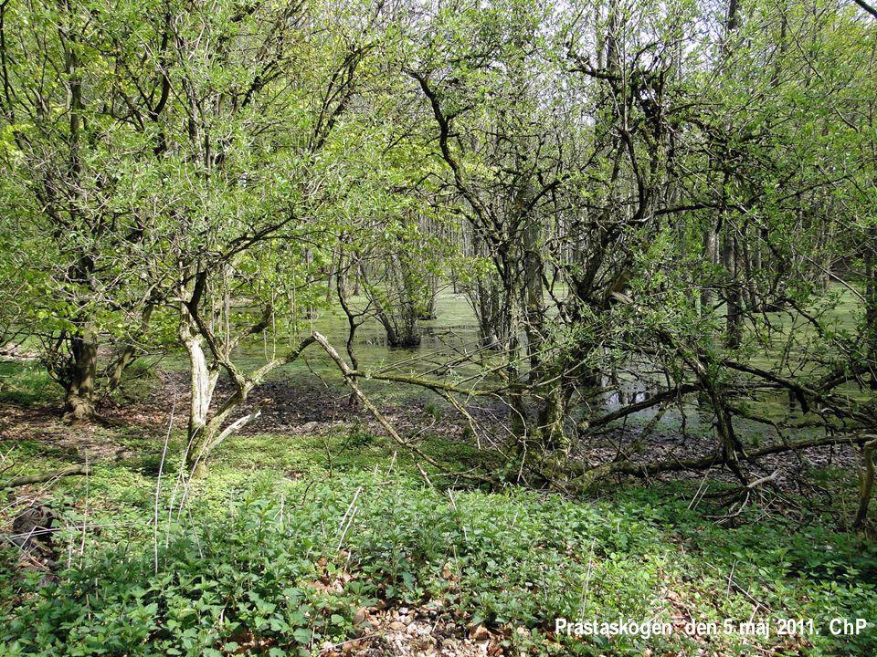 Prästaskogen den 5 maj 2011. ChP