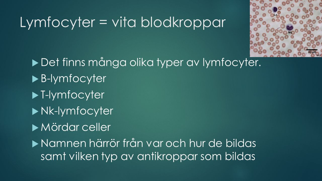 Lymfocyter = vita blodkroppar