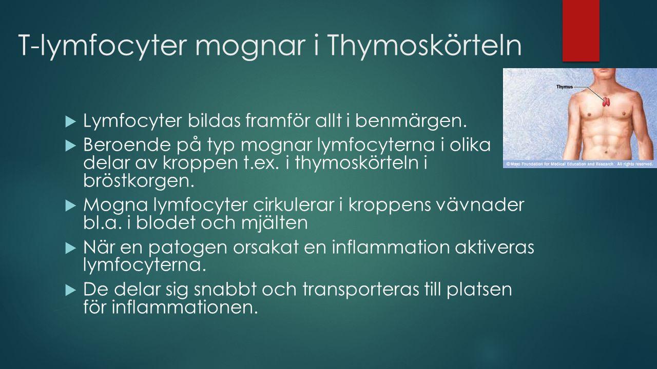 T-lymfocyter mognar i Thymoskörteln