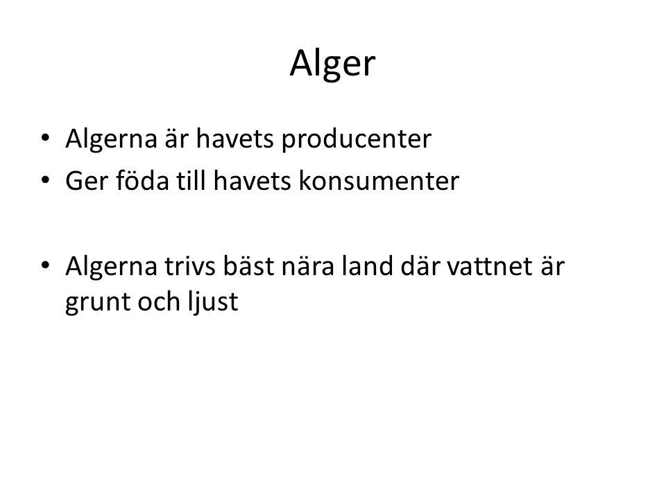 Alger Algerna är havets producenter Ger föda till havets konsumenter