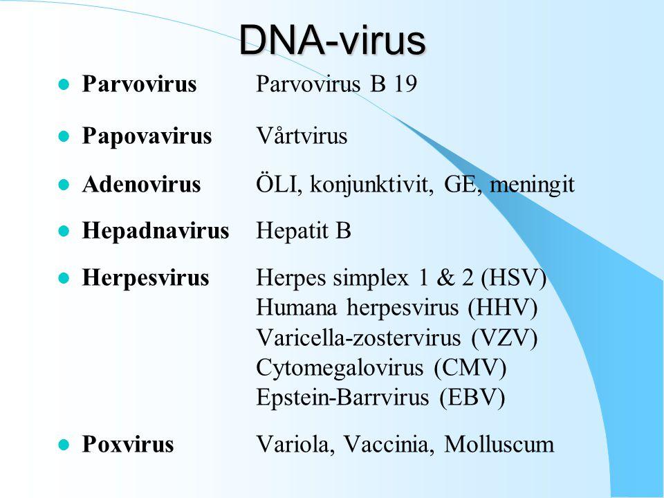 DNA-virus Parvovirus Parvovirus B 19 Papovavirus Vårtvirus