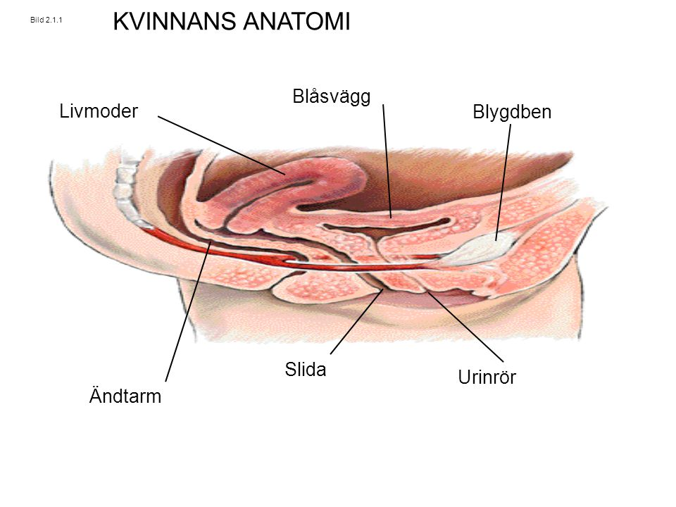 KVINNANS ANATOMI Blåsvägg Livmoder Blygdben Slida Urinrör Ändtarm
