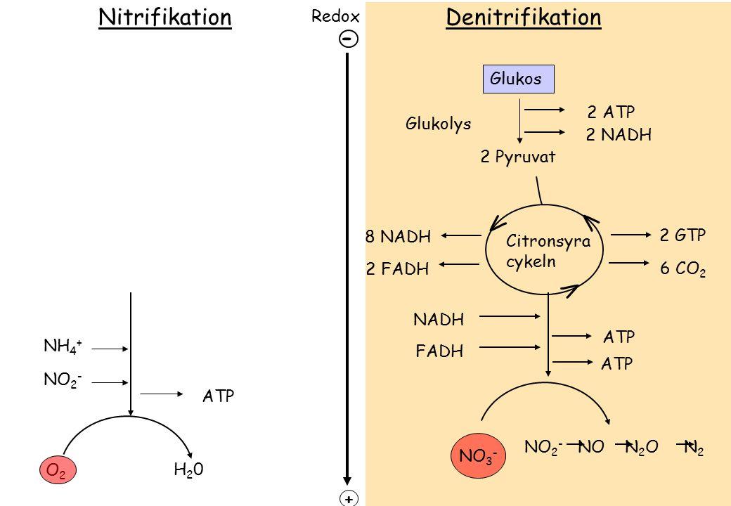 Nitrifikation Denitrifikation - V V V Redox Glukos 2 ATP Glukolys