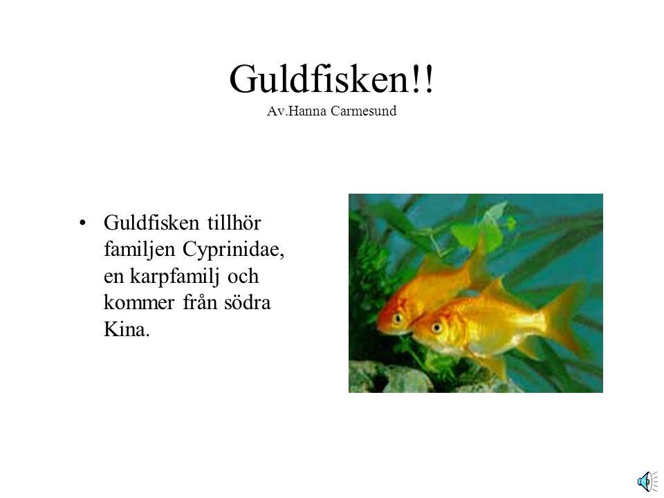 Guldfisken!! Av.Hanna Carmesund