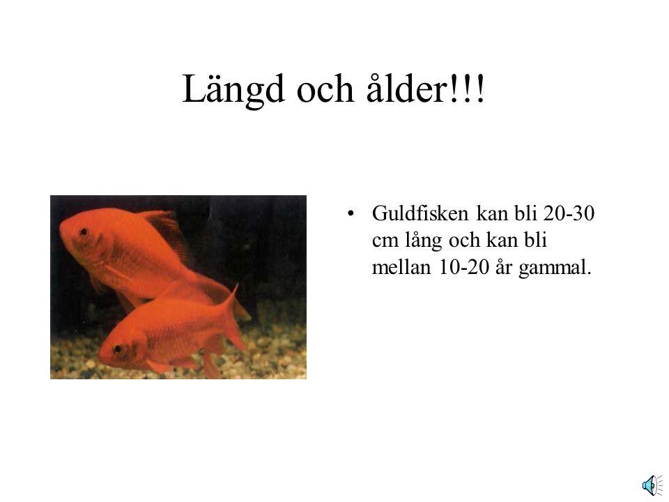 Längd och ålder!!! Guldfisken kan bli 20-30 cm lång och kan bli mellan 10-20 år gammal.