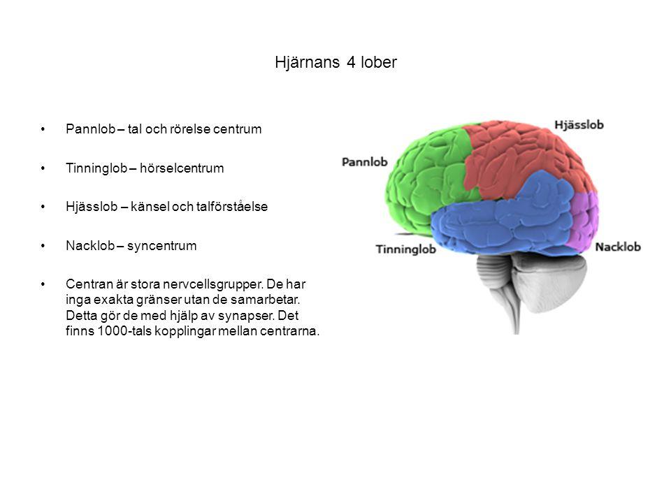 Hjärnans 4 lober Pannlob – tal och rörelse centrum