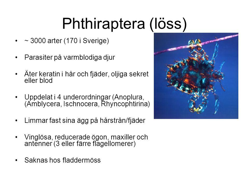 Phthiraptera (löss) ~ 3000 arter (170 i Sverige)