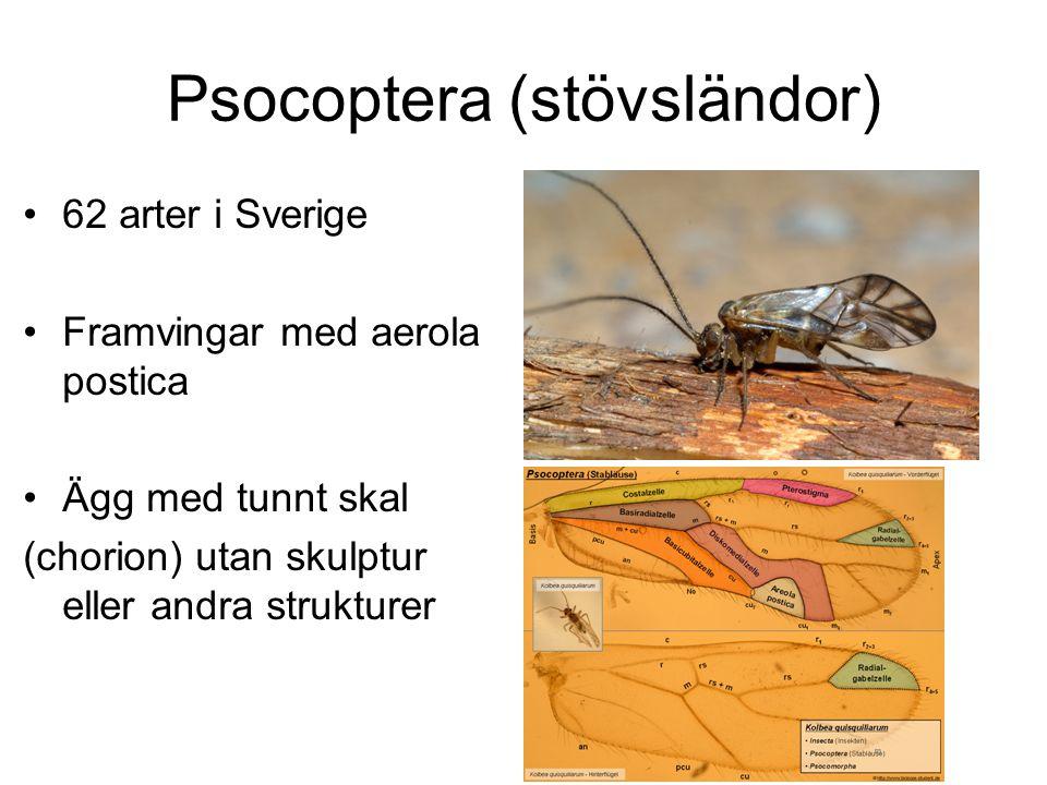 Psocoptera (stövsländor)