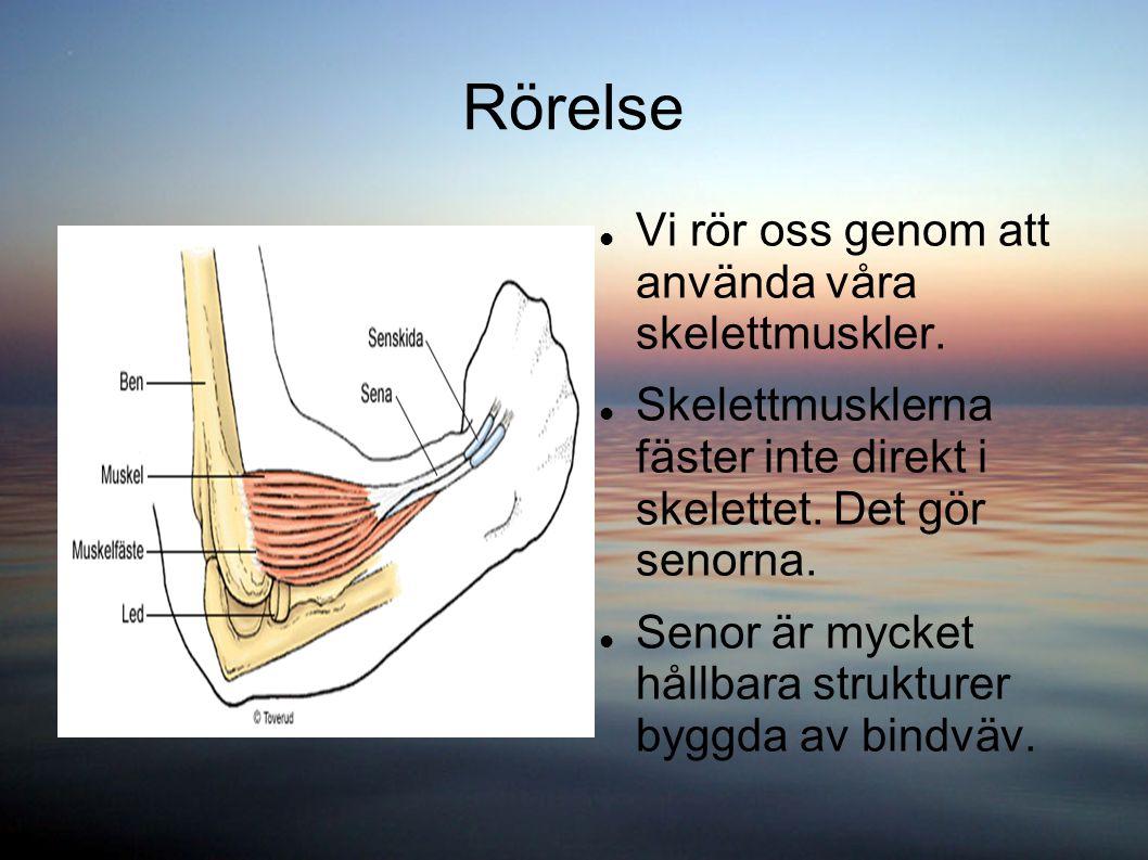 Rörelse Vi rör oss genom att använda våra skelettmuskler.