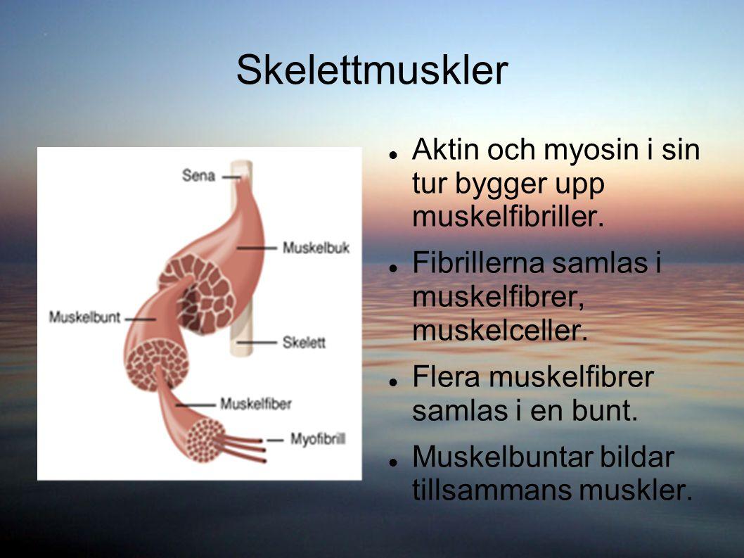 Skelettmuskler Aktin och myosin i sin tur bygger upp muskelfibriller.