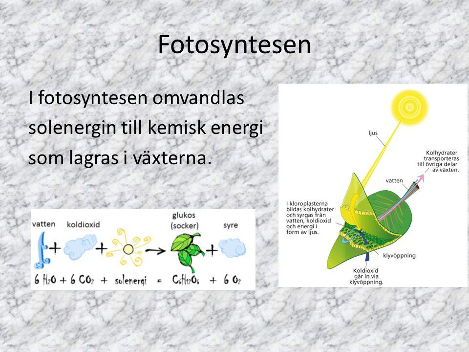 Fotosyntesen I fotosyntesen omvandlas solenergin till kemisk energi som lagras i växterna.
