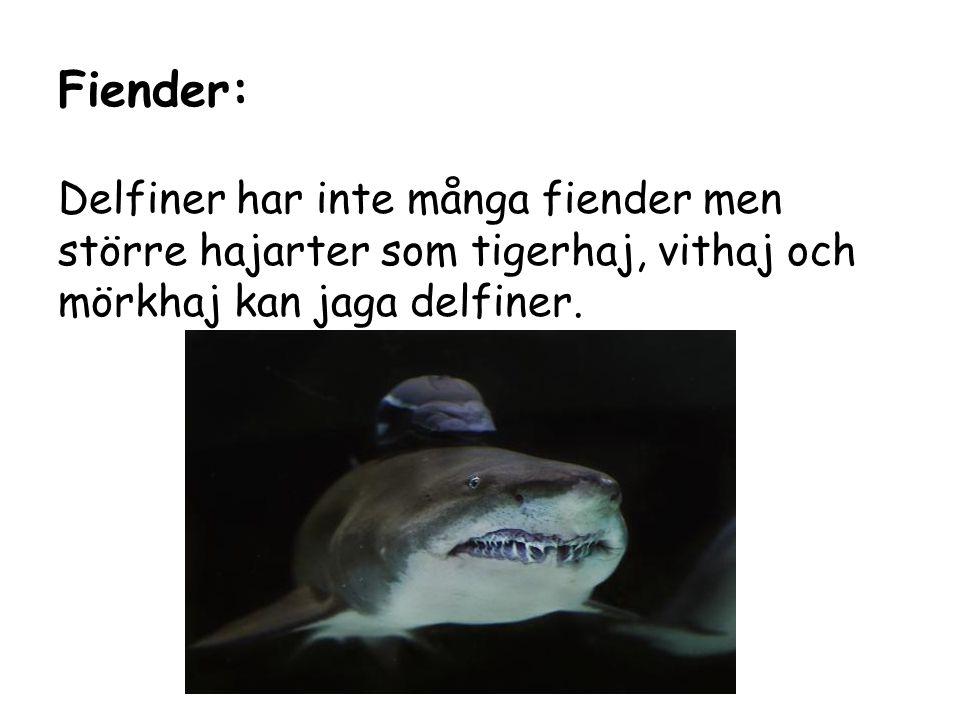 Fiender: Delfiner har inte många fiender men större hajarter som tigerhaj, vithaj och mörkhaj kan jaga delfiner.