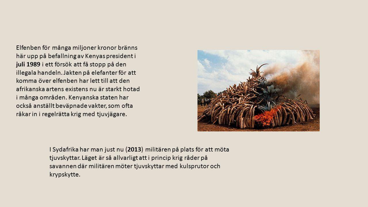 Elfenben för många miljoner kronor bränns här upp på befallning av Kenyas president i juli 1989 i ett försök att få stopp på den illegala handeln. Jakten på elefanter för att komma över elfenben har lett till att den afrikanska artens existens nu är starkt hotad i många områden. Kenyanska staten har också anställt beväpnade vakter, som ofta råkar in i regelrätta krig med tjuvjägare.
