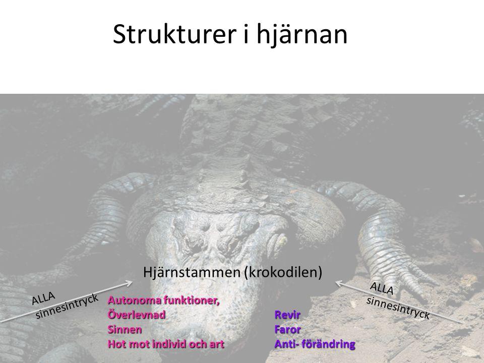 Strukturer i hjärnan Hjärnstammen (krokodilen) ALLA sinnesintryck ALLA