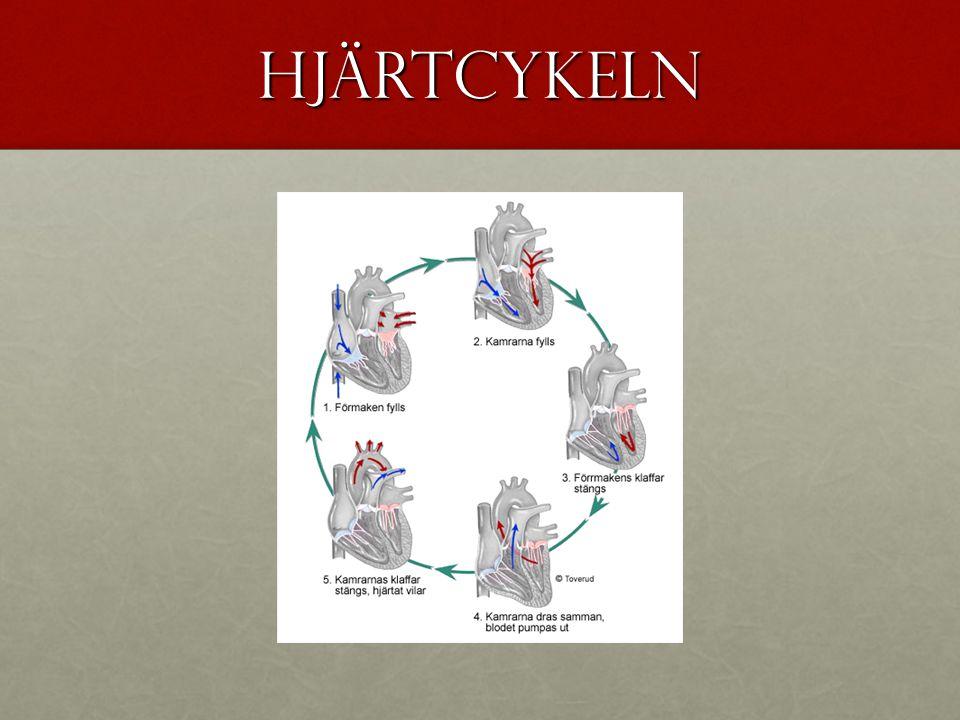 Hjärtcykeln