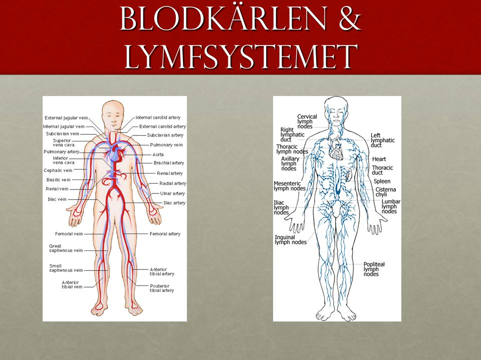 Blodkärlen & Lymfsystemet