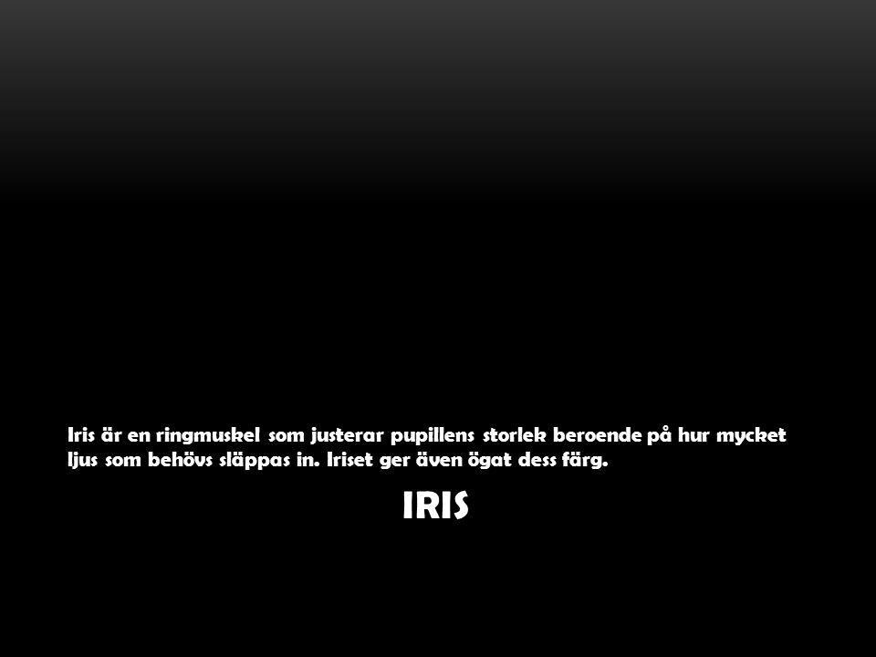 Iris är en ringmuskel som justerar pupillens storlek beroende på hur mycket ljus som behövs släppas in. Iriset ger även ögat dess färg.