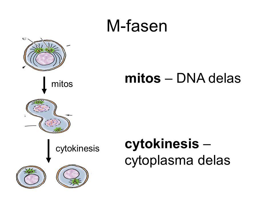 M-fasen mitos – DNA delas cytokinesis – cytoplasma delas mitos