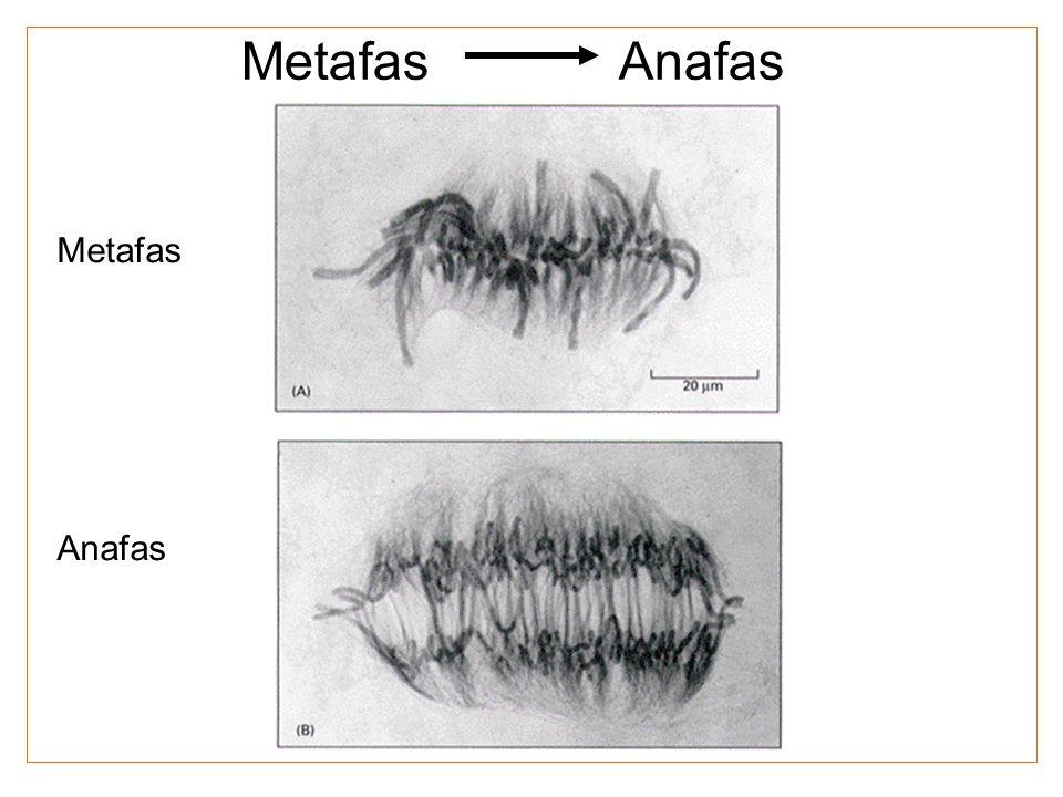 Metafas Anafas Metafas Anafas