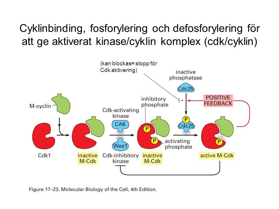 Cyklinbinding, fosforylering och defosforylering för att ge aktiverat kinase/cyklin komplex (cdk/cyklin)