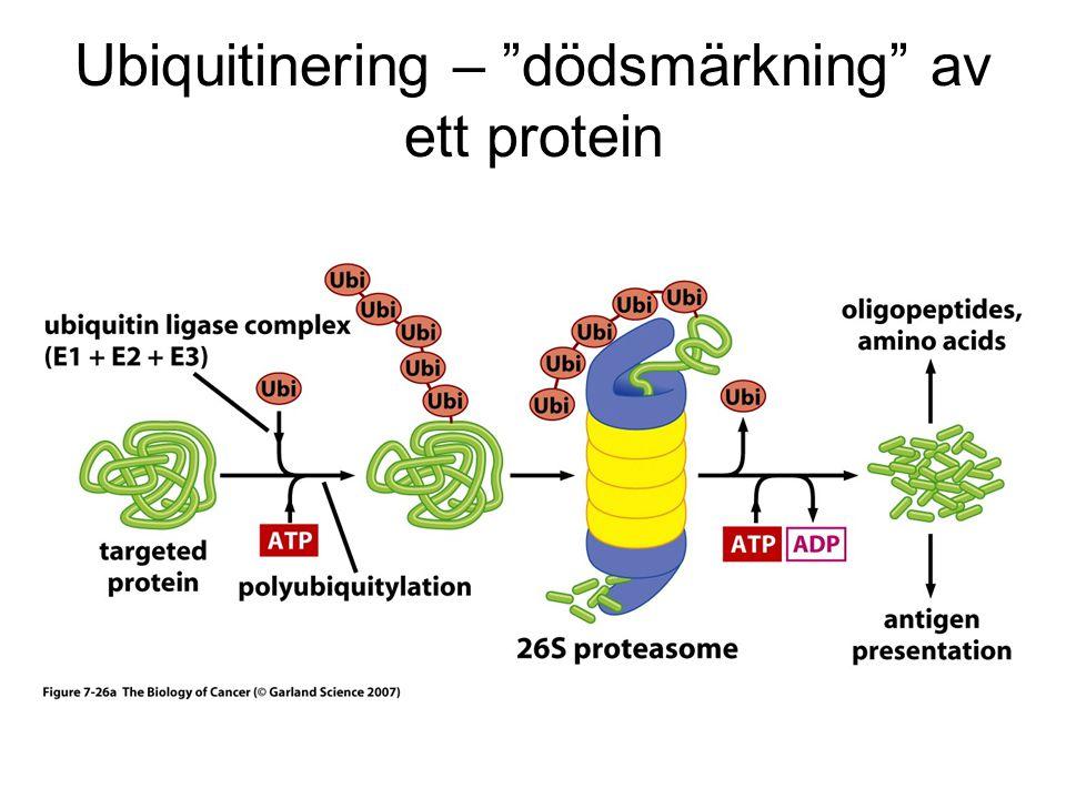 Ubiquitinering – dödsmärkning av ett protein