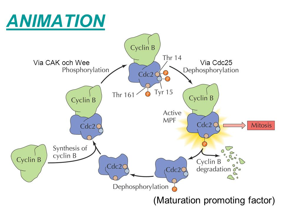ANIMATION (Maturation promoting factor) Via CAK och Wee Via Cdc25