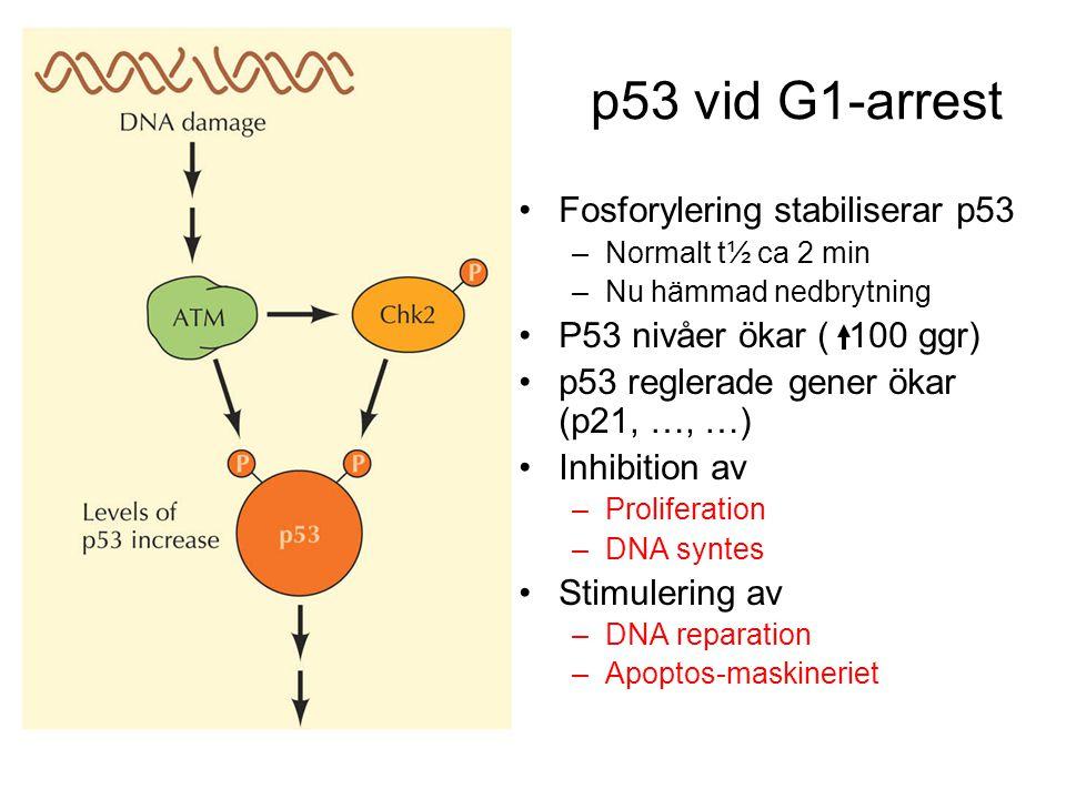 p53 vid G1-arrest Fosforylering stabiliserar p53