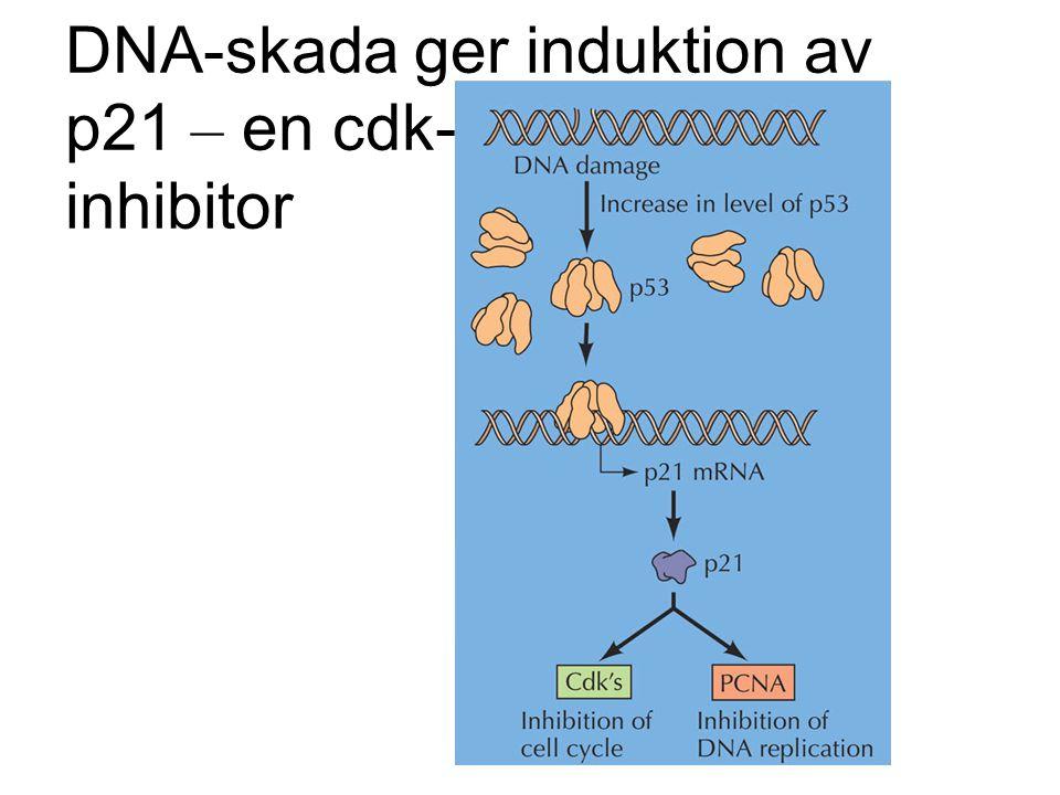 DNA-skada ger induktion av p21 – en cdk- inhibitor