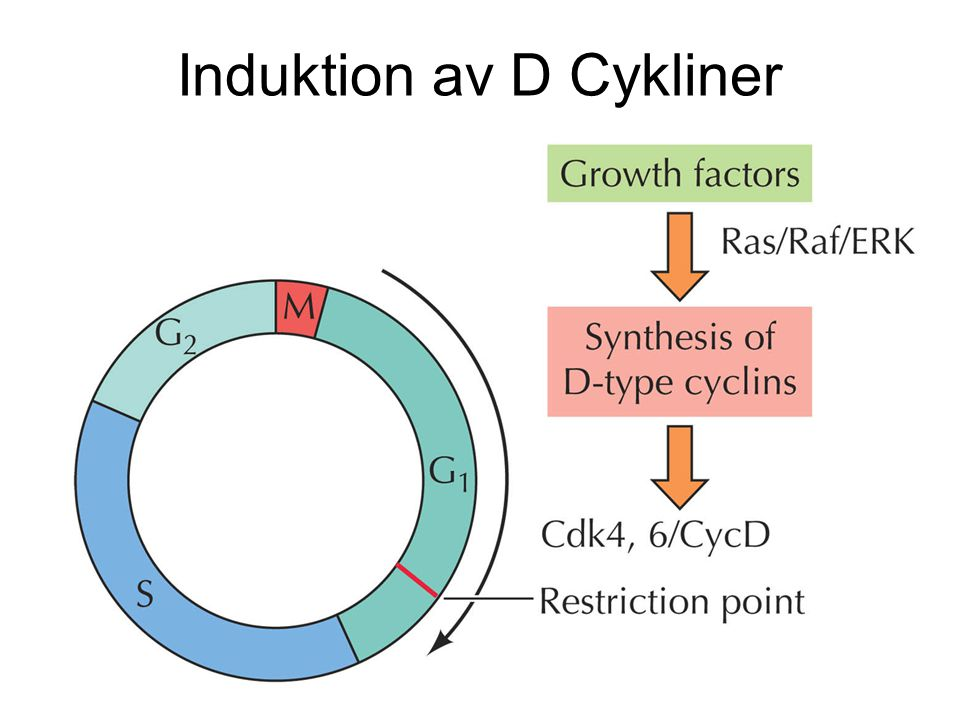 Induktion av D Cykliner