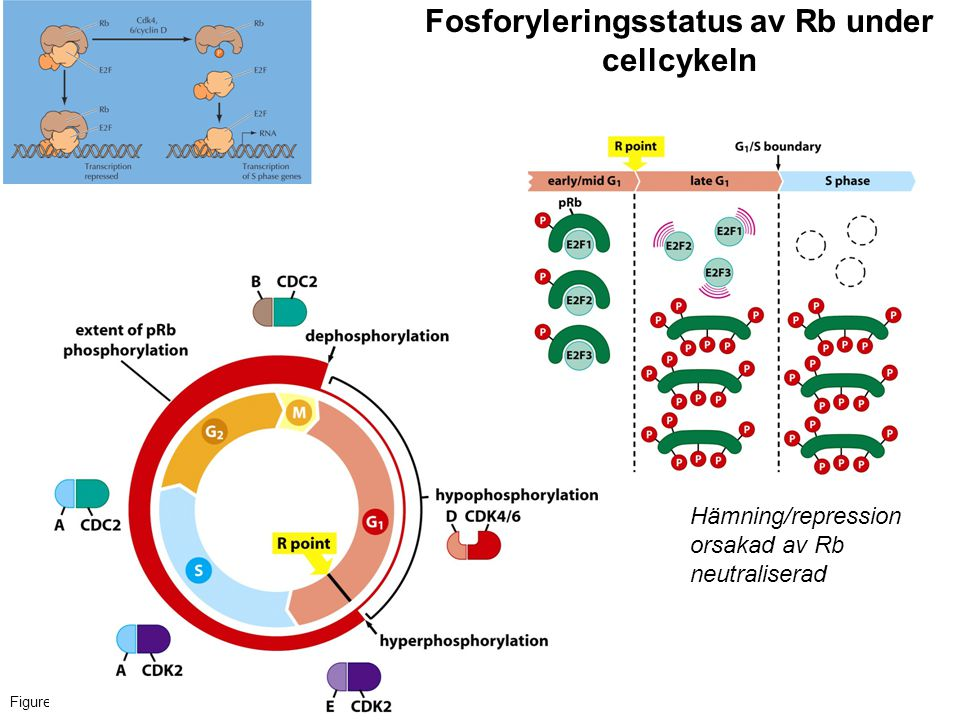 Fosforyleringsstatus av Rb under cellcykeln