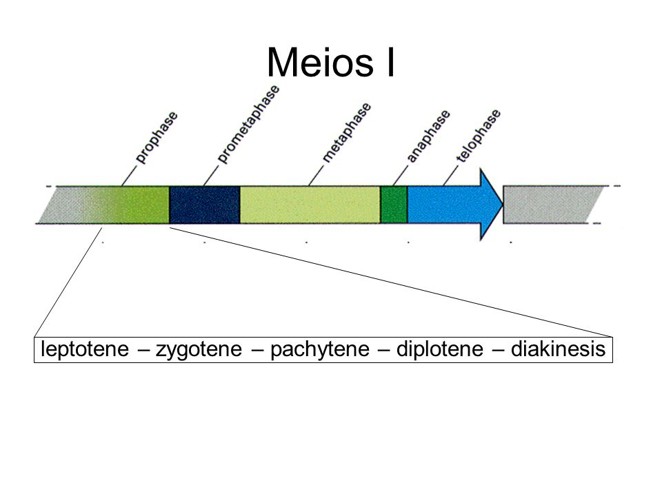 Meios I leptotene – zygotene – pachytene – diplotene – diakinesis