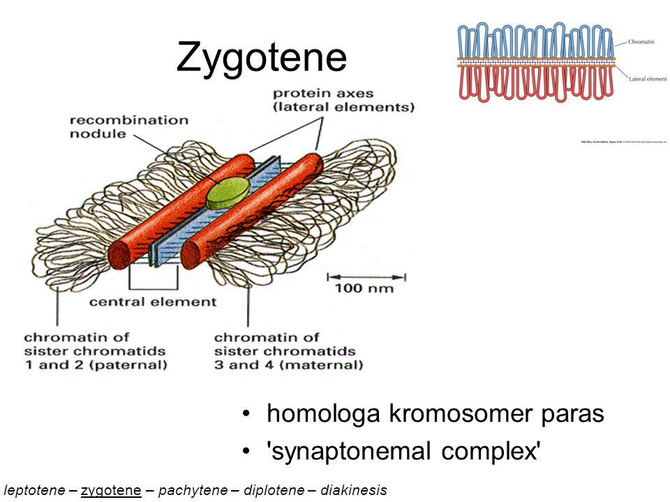 Zygotene homologa kromosomer paras synaptonemal complex