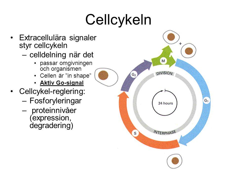 Cellcykeln Extracellulära signaler styr cellcykeln celldelning när det