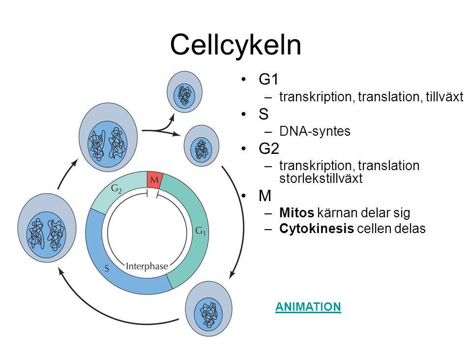 Cellcykeln G1 S G2 M transkription, translation, tillväxt DNA-syntes
