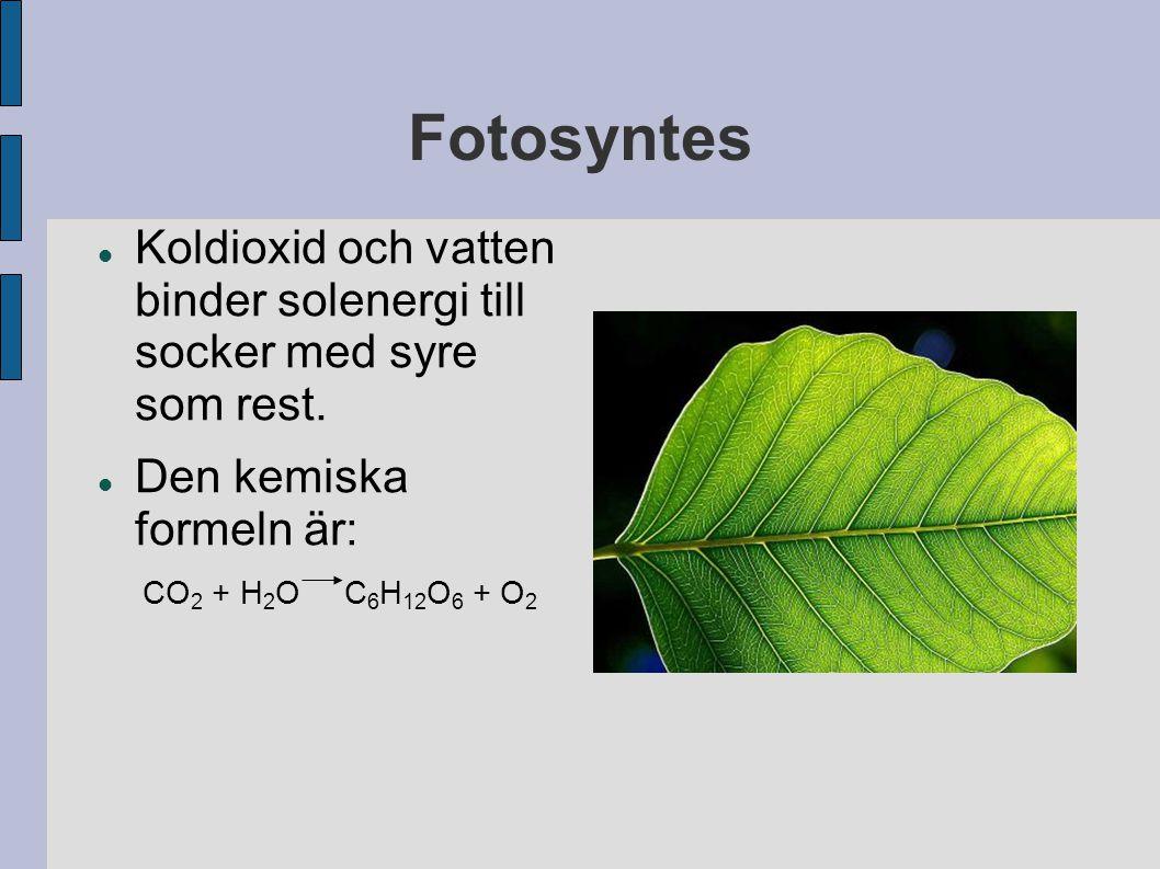 Fotosyntes Koldioxid och vatten binder solenergi till socker med syre som rest. Den kemiska formeln är: