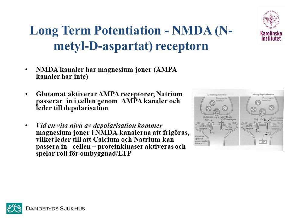 Long Term Potentiation - NMDA (N-metyl-D-aspartat) receptorn