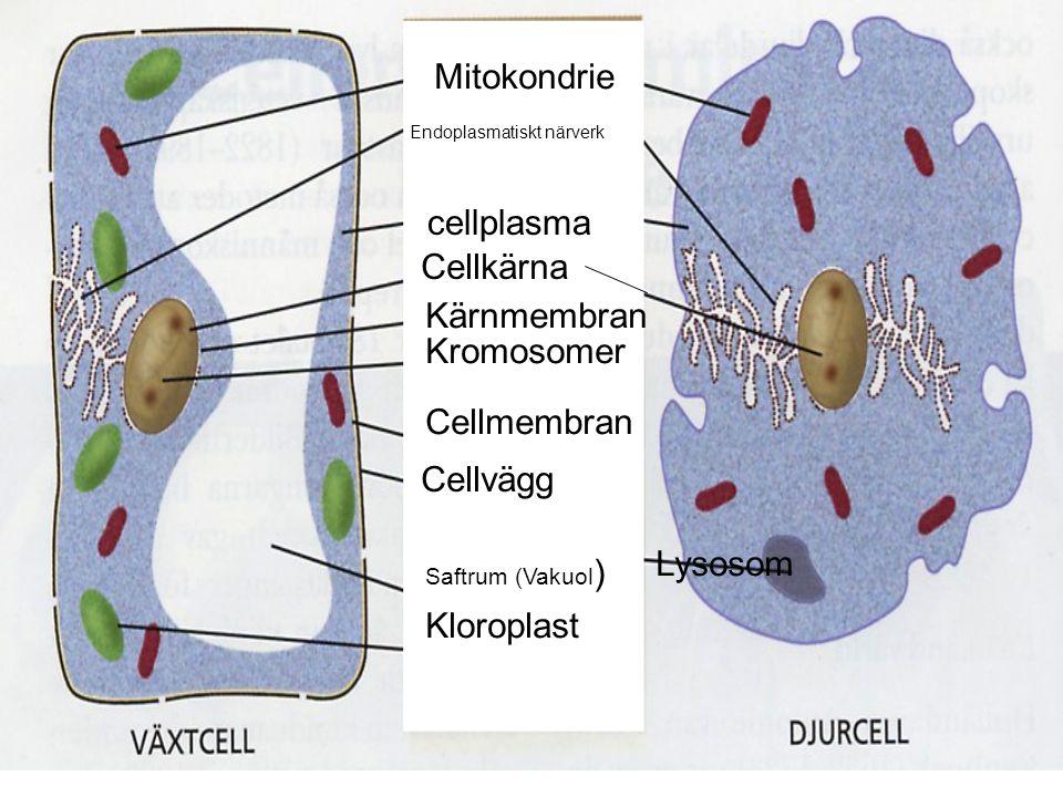Växtcell Djurcell Mitokondrie cellplasma Cellkärna Kärnmembran