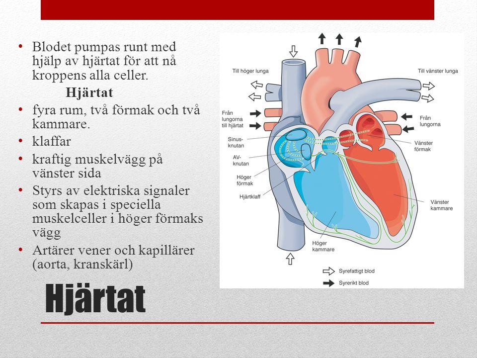 Blodet pumpas runt med hjälp av hjärtat för att nå kroppens alla celler.